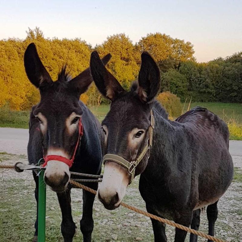 Istarski magarac – Banka gena domaćih životinja